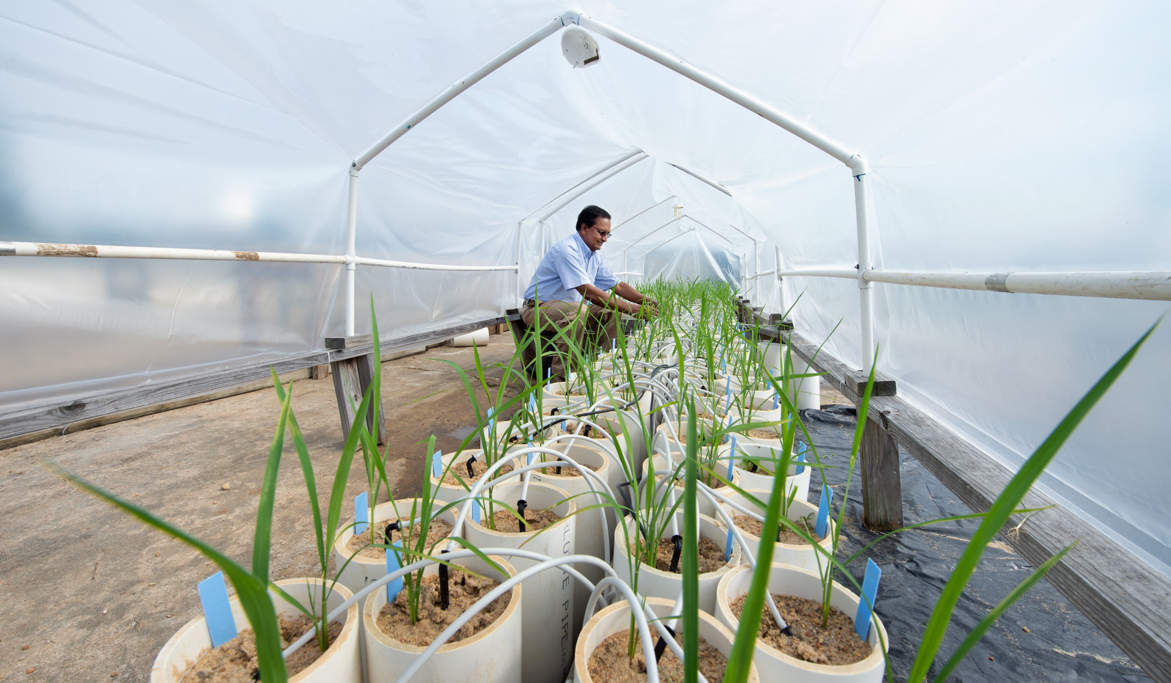 Plant and Soil Sciences Raja Reddy checks out the progress of his rice research in the controlled conditions of a greenhouse.