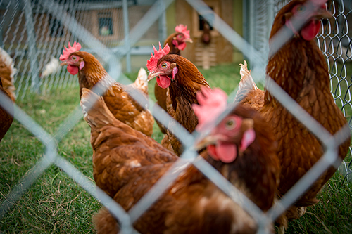 Hens are pictured in the new cage-free facility at Mississippi State. (Photo by David Ammon)