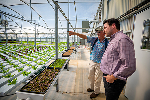 Two men look at lettuce growing in a greenhouse.