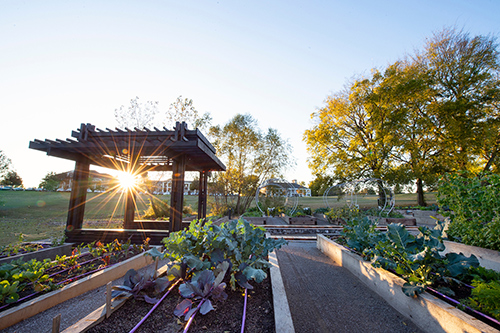 The MSU Community Garden is pictured with beds full of green leafy plants and the sun shining from behind the pergola.