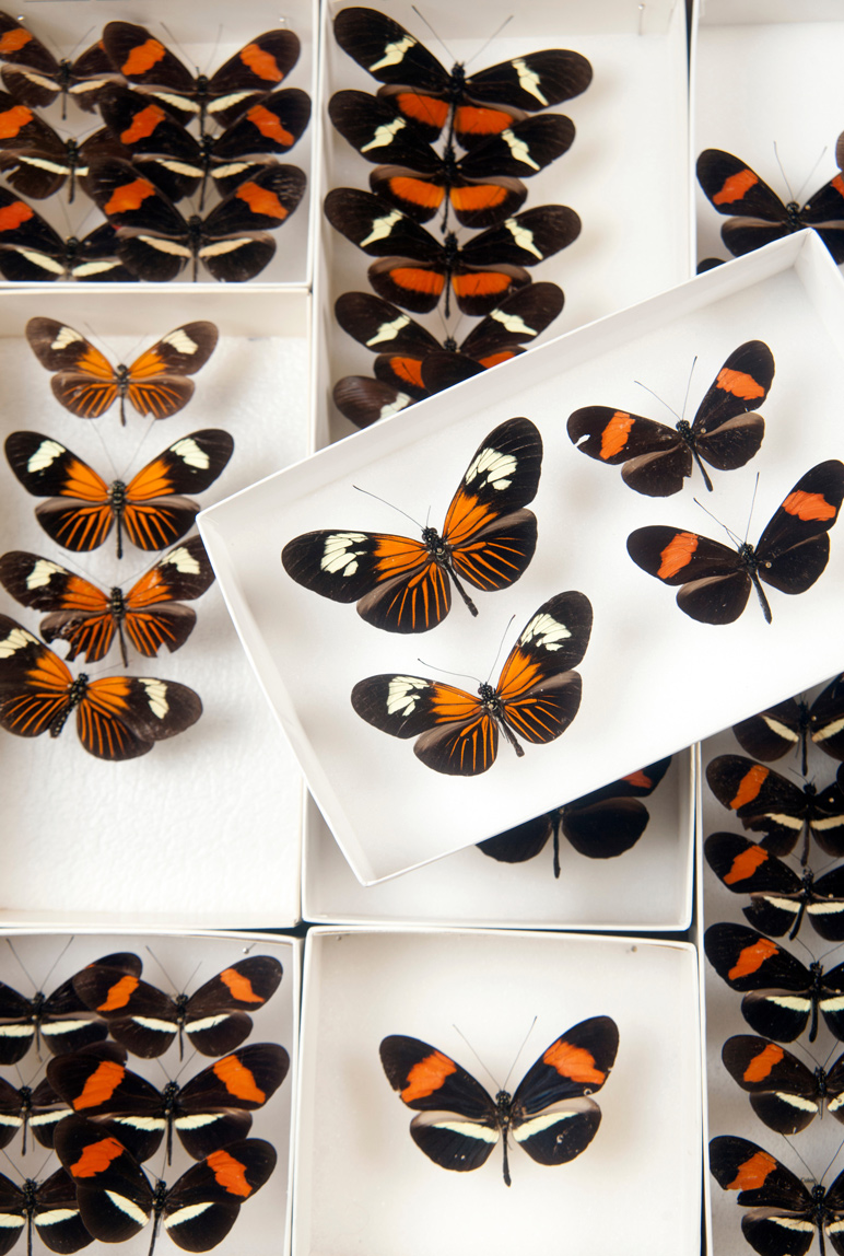 Heliconius butterflies housed at the Entomological Museum at Mississippi State. (Photo by Megan Bean)