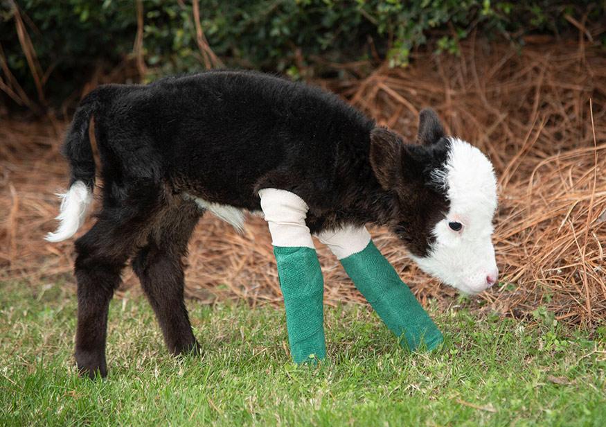 MSU's College of Veterinary Medicine helps 'Lil' Bill' calf