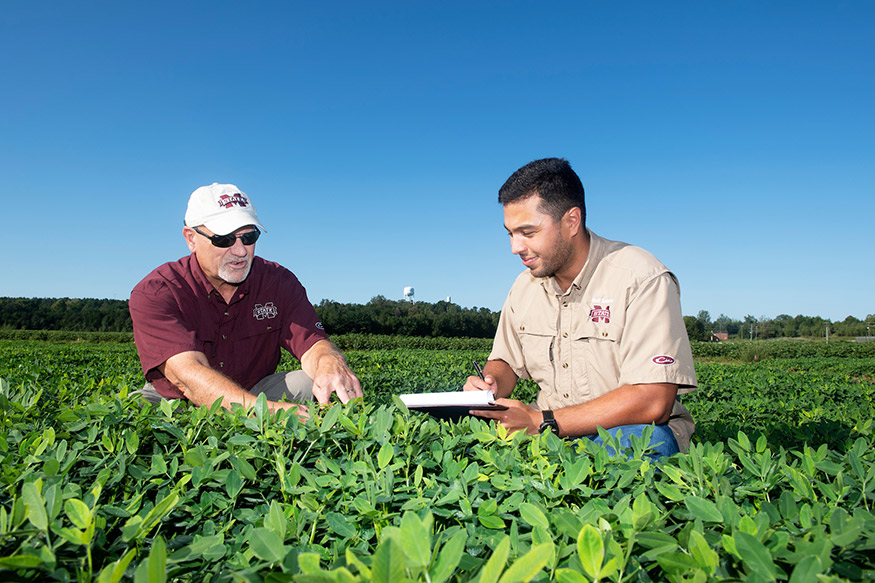 Eduardo S. Garay, right, works with MSU professor and Triplett Endowed Chair in Agronomy Jac Varco, both pictured looking at plants in a peanut field