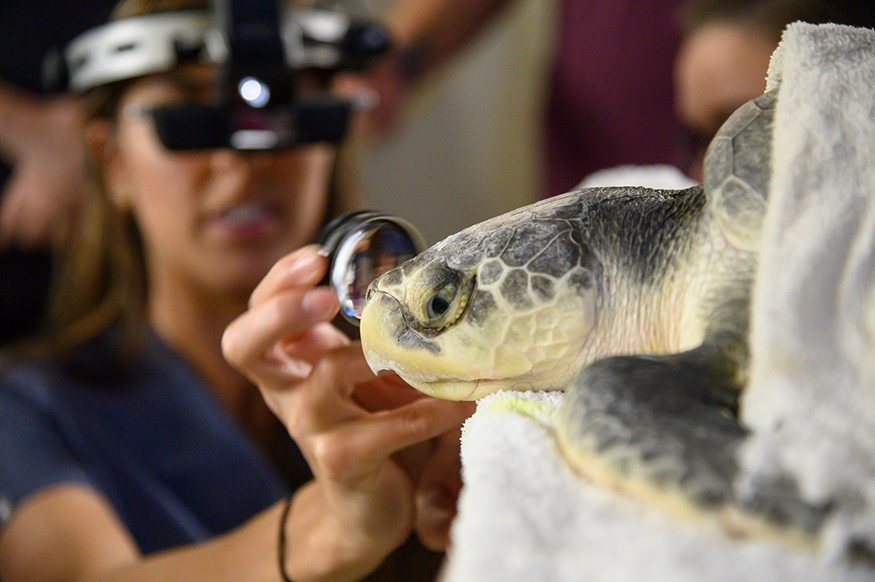 A sea turtle undergoes an eye examination at MSU's College of Veterinary Medicine.